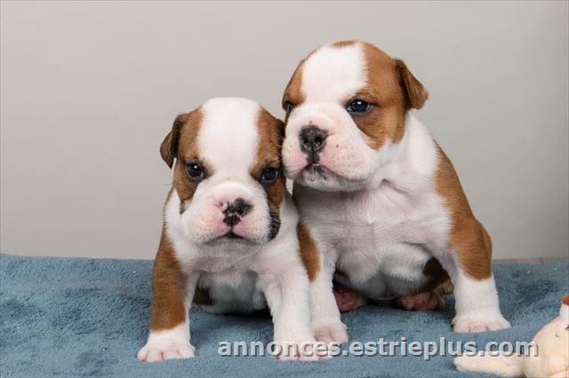 à Vendre à Victoriaville Bulldog Anglais Lof Annonce 250960