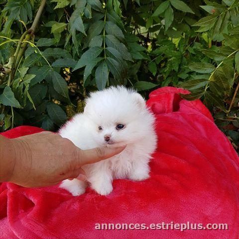 A Vendre A Cote Saint Luc A Donner Adorable Chiot Spitz Nain Blanc Femelle Annonce 258870 Petites Annonces Classees Gratuites Sherbrooke Estrie Quebec